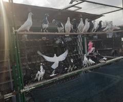 Продавам гълъби - Пазарджишки Високолетачи