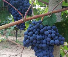 Продавам грозде Мавруд.